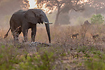 African bush elephant (Loxodonta africana) and yellow baboons (Papio cynocephalus), Mana Pools National Park, Zimbabwe<br />