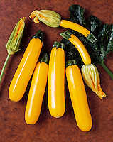 Agriculture - Golden zucchini on a brown textured surface; variety Goldenrod, studio.