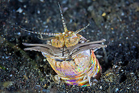 Like a nightmarish monster, a Bobbit worm, Eunice aphroditois, crawls out of its sandy lair hunting fish in Lembeh Strait, North Sulawesi, Indonesia, Pacific Ocean