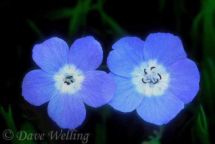 105000003 a wild baby blue eyes wildflower nemophila menzies puts forth large pale blue flowers in spring in the santa monica mountains national recreation area of los angeles county california