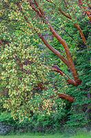 WASJ_D109 - USA, Washington, San Juan Island National Historical Park, English Camp, Pacific madrone trees bloom alongside Douglas fir.