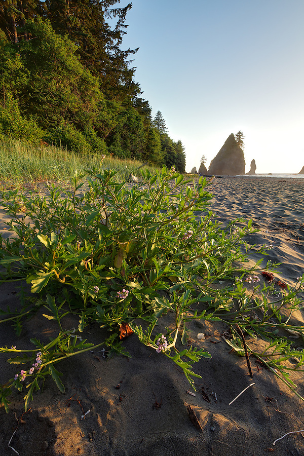 American Searocket growing at sandy edge of beach, Shi Shi Beach, Olympic National Park, Washington Coast, USA