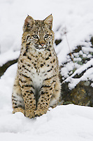 Bobcat sitting on a snowy, rocky ledge - CA