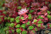 Rock succulent (Sempervivum hybrid). Oregon Garden. Oregon