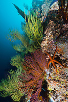 RK0140-D. reef wall covered in gorgonian sea fans (Mopsella sp. ?) and Yellow Black Coral (Antipathes galapagoensis), and a Pyramid sea star (Pharia pyramidata). Galapagos Islands, Ecuador, Pacific Ocean<br /> Photo Copyright &copy; Brandon Cole. All rights reserved worldwide.  www.brandoncole.com