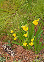 Daffodils come up through the needle duff of a white pine at the Morton Arboretum in DuPage County, Illlinois
