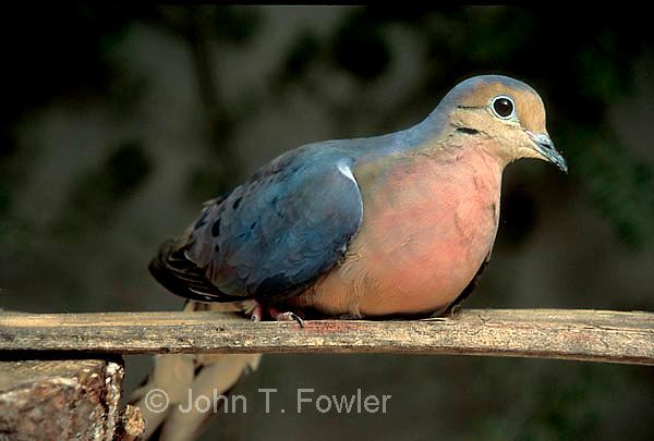 Passenger pigeon (Ectopistes migratorius).  Computer generated image female