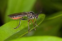 Höcker-Habichtsfliege, Höckerhabichtsfliege, Habichtsfliege, Raubfliege, Dioctria rufipes, Common Red-legged Robberfly, robber-fly, Raubfliegen, Mordfliegen, Asilidae, robberflies, robber flies