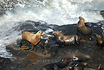 Sea lions lounge on rocks at Sea Lion Caves.