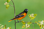 Male Baltimore oriole in spring.