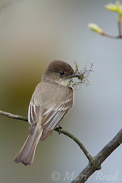 Eastern Phoebe (Sayornis phoebe) holding nest material, New York, USA