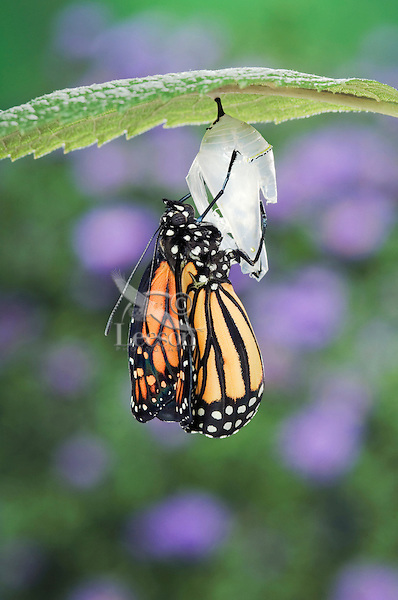 MONARCH BUTTERFLY life cycle..Emergence on Joe-Pye Weed leaf. .North America. (Danaus plexippus).
