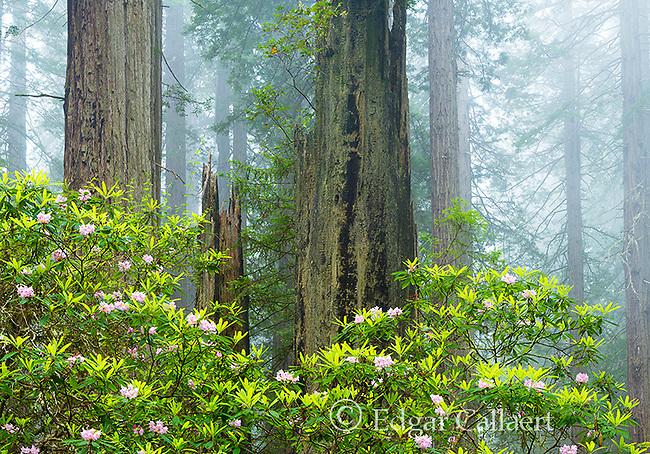 Rhododendron Bloom, Redwoods, Coastal Fog, Damnation Creek, Del Norte Redwoods State Park, Redwood National and State Parks, Del Norte County, California