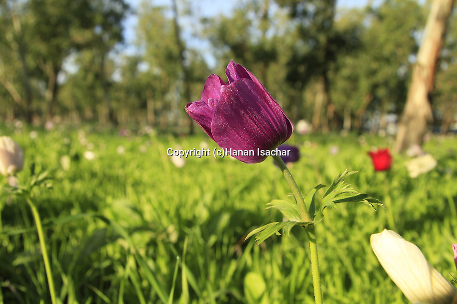 Israel, Jezreel Valley, Anemone flowers in Megiddo