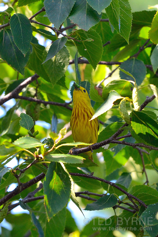American Yellow Warbler feeding