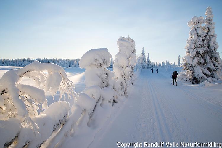 Skiløpere i snødekt vinterskog. ---- Skiers in snow clad forest.
