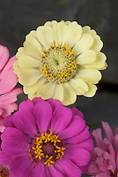 Zinnias variety including green Zinnia elegans 'Envy'
