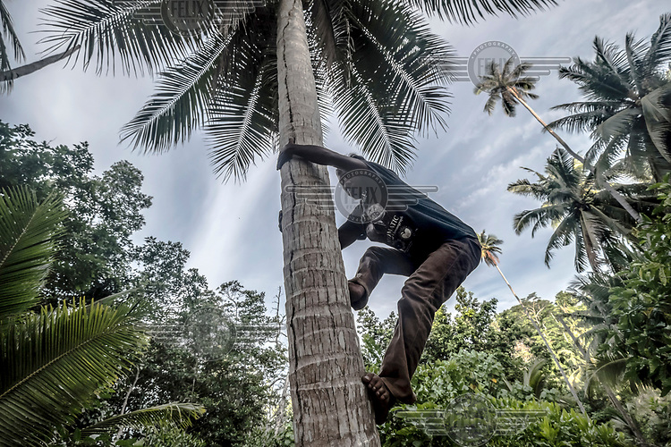 Dafrin Ambotang (35) climbs a coconut tree on his farm on Taoleh in the Togean Islands. Despite being one of the best divers in his village, Ambotang, like many Bajau, has turned to farming as an additional source of revenue.