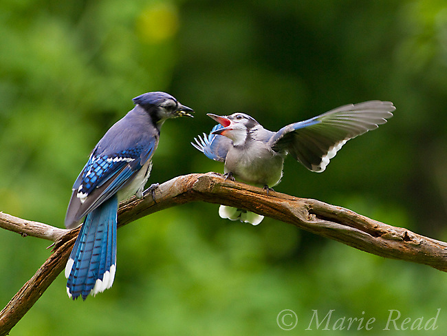 Blue Jay (Cyanocitta cristata) fledgling (right) begging for food from adult (left), New York, USA