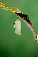 MONARCH BUTTERFLY life cycle..Chrysalis on Joe-Pye leaf. .North America. Danaus plexippus.