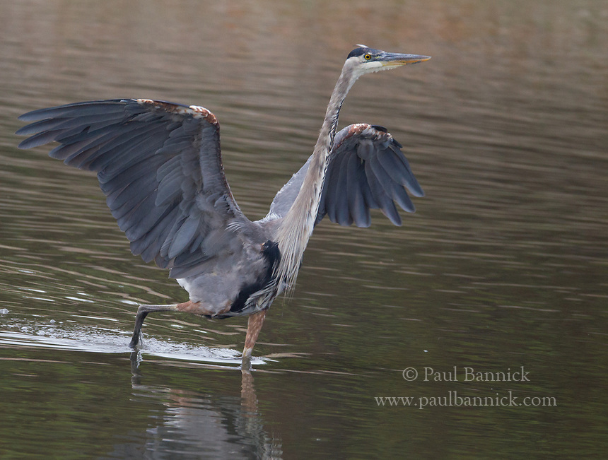 A Great Blue Heron uses his wings to corral fish before striking.