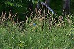 Indigo bunting - male