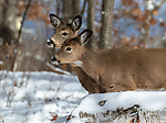White-tailed fawns intently watching something in the distance deep within a northern forest.
