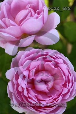 Gisela, FLOWERS, photos(DTGK682,#F#) Blumen, flores, retrato