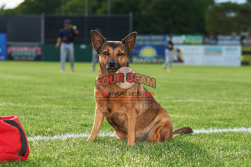 Batavia Muckdogs groundskeeper dog Georgia sits on the field as players warm up before a game against the State College Spikes on June 22, 2016 at Dwyer Stadium in Batavia, New York.  State College defeated Batavia 11-1.  (Mike Janes/Four Seam Images)
