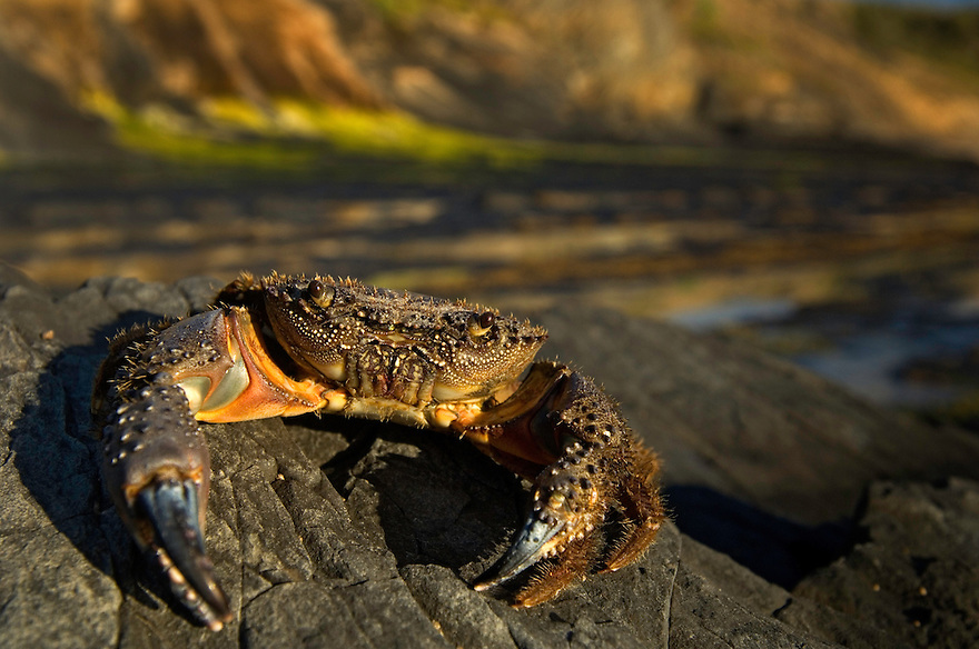 Warty crab, Crab - Eriphia verrucosa, Southwest Alentejo and Vicentine Coast Natural Park, Portugal