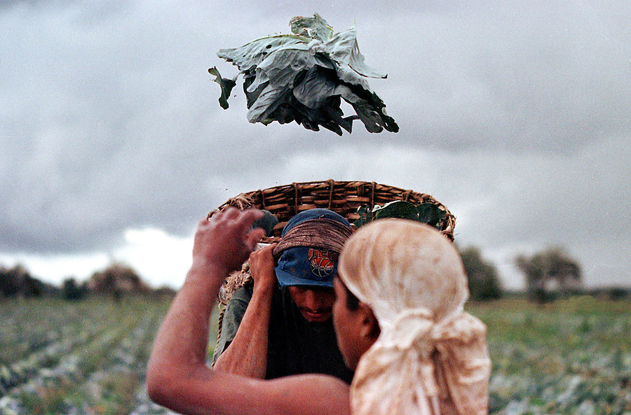 A worker in Loreto, Mexico, tosses a head of cabbage.  These workers can earn seven times as much in the U.S. and will risk their lives traveling north in search of better opportunities.