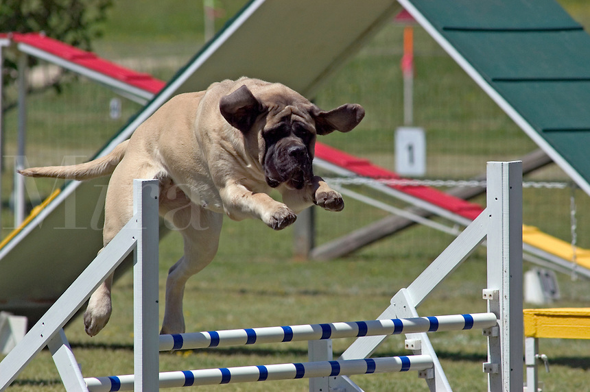 Bull Mastiff jumping during an agility competition in Gloucester, VA