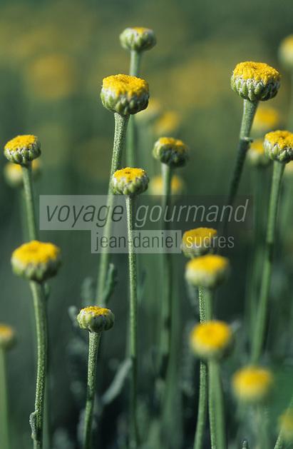 Europe/France/Auvergne/12/Aveyron/Les Homs-du-Larzac: Santoline dans le jardin de plantes aromatiques de Pierre-Yves de Boissieu