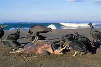 black vultures, Coragyps atratus, scavenge carcass of olive ridley sea turtle, Lepidochelys olivacea, Playa Ostional, Costa Rica, Pacific Ocean