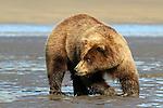 Brown Bear Digging