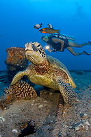 An endangered species, this green sea turtle, Chelonia mydas, is home on the wreck of the YO257 off Waikiki, Oahu, Hawaii, USA, Pacific Ocean The diver is model released.