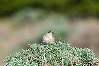 White-crowned Sparrow, Zonotrichia leucophrys, on the Pacific Coast in Sonoma County, California