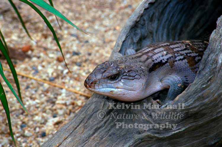 Blue-tongued skinks comprise the Australasian genus, Tiliqua, which contains some of the largest members of the skink family (Scincidae). They are commonly called blue-tongued lizards or simply blue-tongues in Australia. As suggested by these common names, a prominent characteristic of the genus is a large blue tongue that can be bared as a bluff-warning to potential enemies.