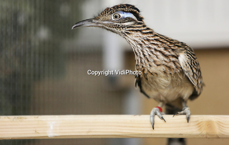 Foto: VidiPhoto<br /> <br /> ARNHEM - Burgers&rsquo; Zoo heeft sinds dinsdag bijna de helft van alle renkoekoeken in Europa te gast om ze te laten speeddaten. Letterlijk. De vogels zijn razendsnel en rennen met een snelheid van 30 km/u door hun verblijf. Het Arnhemse dierenpark monitort de Europese populatie van deze woestijnvogels die in totaal uit slechts achttien dieren bestaat in alle EAZA-dierentuinen tezamen (European Association of Zoos and Aquaria). Burgers&rsquo; Zoo heeft achter de schermen een datingcentrum opgezet, waaraan acht vogels deelnemen: vijf mannen en drie vrouwen. Twee mannen zijn zelfs afkomstig van San Diego Zoo (USA). Renkoekoeken zijn monogame vogels die in principe een paar voor het leven vormen. Zij zijn behoorlijk kieskeurig wat de partnerkeuze betreft. Speeddaten lijkt een geschikte methode voor de renkoekoek, die model stond voor de tekenfilmfiguur Road Runner van de Looney Tunes. Eerder is deze methode namelijk met succes gebruikt bij het samenstellen van fokstellen bij neushoornvogels, eveneens een vogelsoort met een eigenzinnig karakter. Door telkens verschillende vogels in aangrenzende verblijven te zetten, kunnen dierverzorgers en biologen nauwkeurig in de gaten houden in welke mate twee specifieke individuen op elkaar reageren.