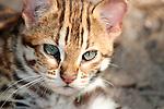 Leopard Cat (Prionailurus bengalensis)