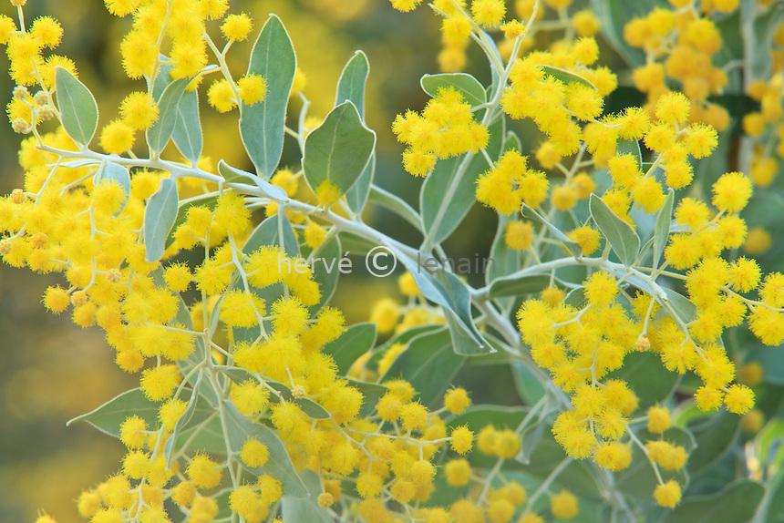 mimosa à feuilles de Podalyria = mimosa argenté du Quennsland, Acacia podalyriifolia // Queensland Silver Wattle or Mount Morgan Wattle, Acacia podalyriifolia