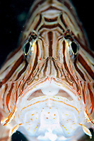 Common lionfish (pterios volitans) close up of it's head, Paradise pier, North Sulawesi, Celebes sea, Pacific Ocean, Sulawesi, Indonesia, Asia