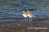00895-02103 Killdeer (Charadrius vociferus) in wetland, Marion Co., IL