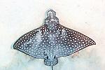 Aetobatus narinari, Spotted eagle ray, Roatan