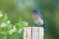 Female eastern bluebird perched on an old fence post