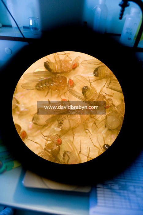 View of small flies, put asleep by CO2, through the eyepiece of a microscope at Dr. Thierry Heidmann's cancer research department at the Institut Gustave Roussy in Villejuif, France, 6 May 2008.