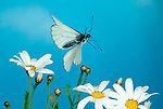 Black Veined White butterfly, Aperia crataegi, in flight, flying over daisy flowers, high speed photographic technique, blue sky background, Southern Europe, rare migrant to UK.Europe....