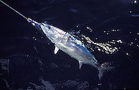 A Skipjack Tuna, Marshall Islands, near Arno Atoll in the Republic of Marshall Islands, Micronesia.
