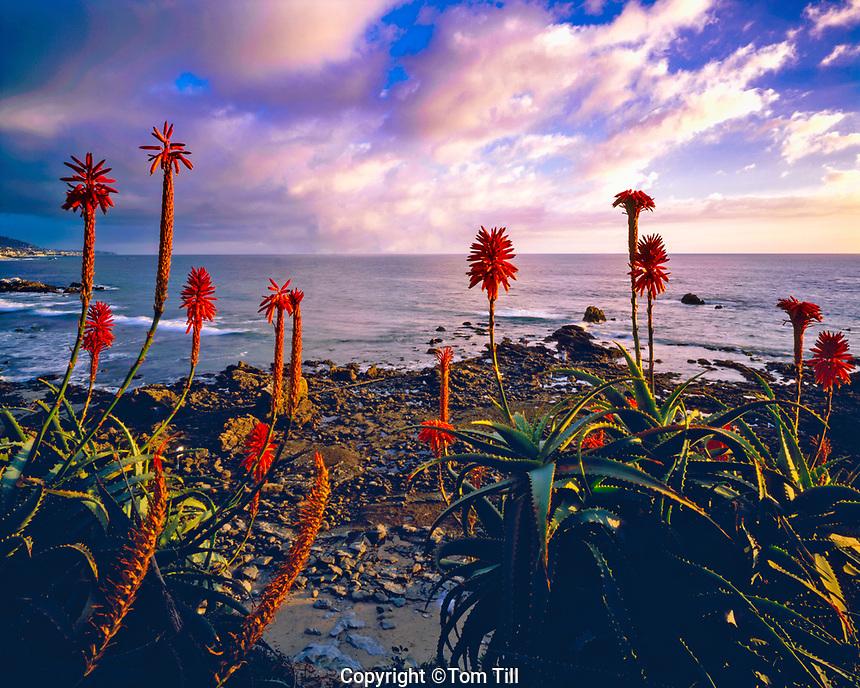 Aloe Plants in Bloom at Laguna Beach Sunset, Pacific Ocean, California