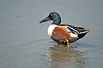 Hong Kong, Mai Po WWF reserve birds  Shoveler duck at Mai Po WWF reserve in Hong Kong.  Northern Shoveler, (anas clypeata) at Mai Po. The WWF Mai Po refuge at Deep Bay in Hong Kong is a wetland haven for thousands of migratory birds during autumn and winter.